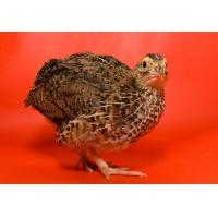 Cheap Broiler Quail Grower Feed for sale